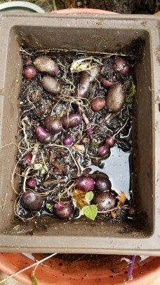 extra purple and red seed potatoes
